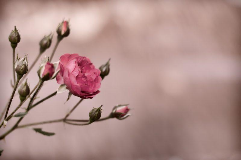 fleur-rose-parlonsmaisons